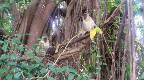 Green Monkey. credit Tylissa Wagner
