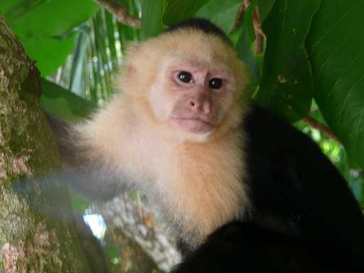 Carpuchin Monkey in Manual Antonio National Park