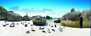 Penguins at Boulder Beach.  Photo Credit- South Africa Tourism