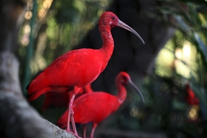 scarlet-ibis-birds-tourism-development-company-of-trinidad-tobago