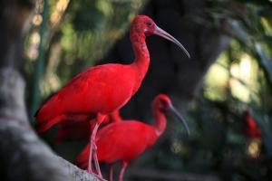 scarlet-ibis-birds-tourism-development-company-of-trinidad-tobago