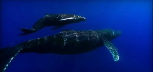 whales in hawaii